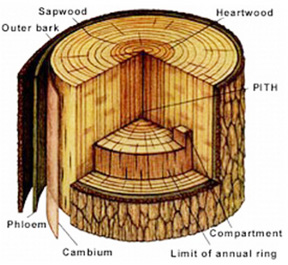 tree trunk layers diagram bayweekly.com tooth layers diagram
